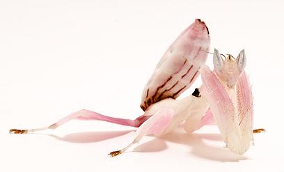 Розовый жук